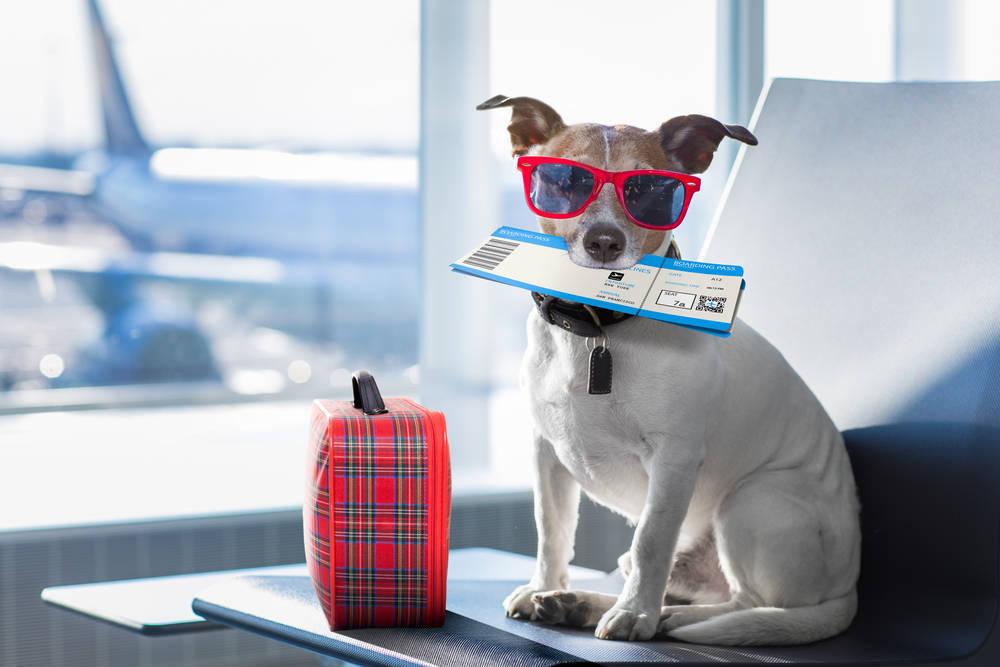 ¿Puede tu perro viajar en un avión en España?